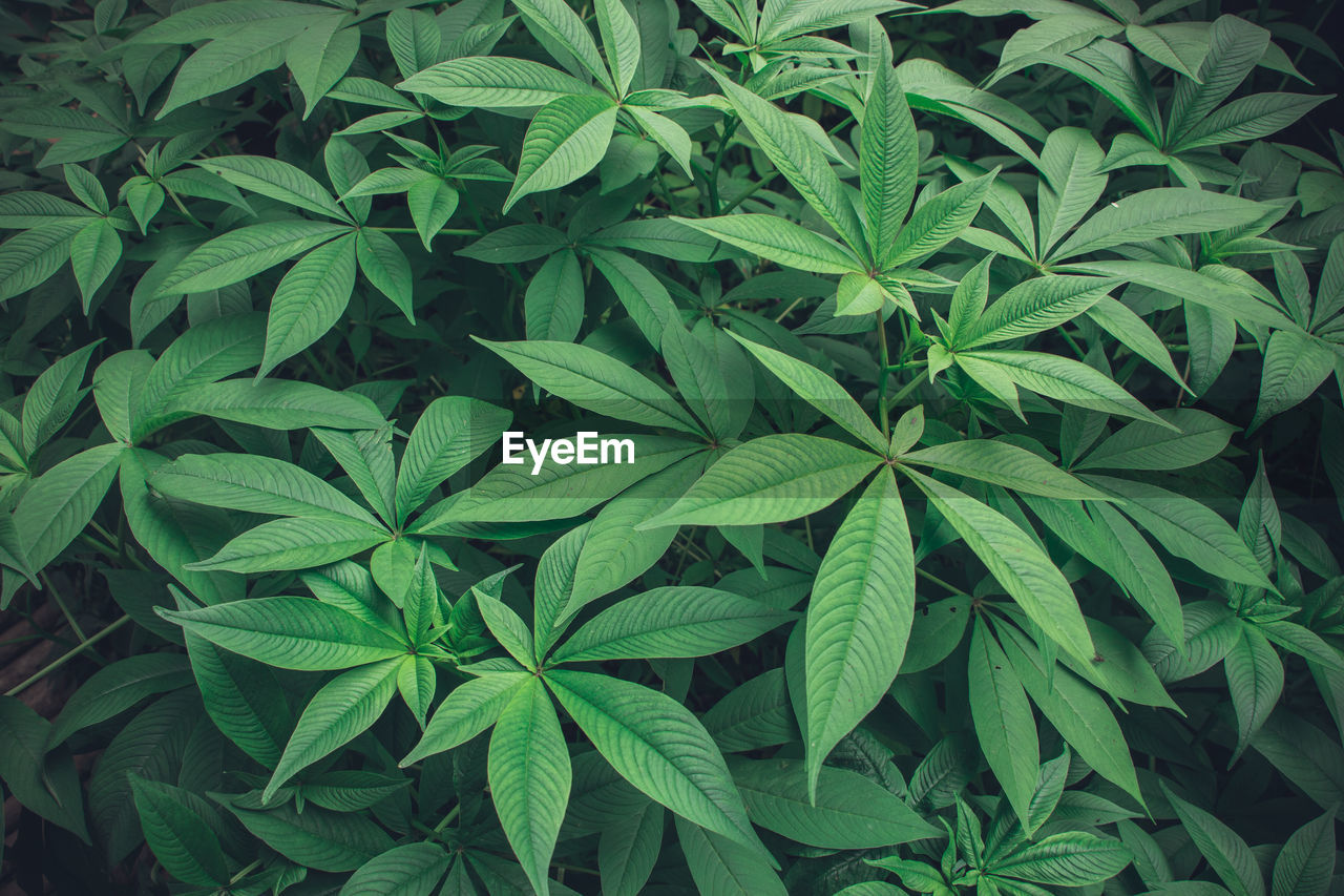 leaf, plant part, green color, growth, marijuana - herbal cannabis, plant, cannabis plant, herb, close-up, healthcare and medicine, nature, high angle view, medicine, no people, alternative medicine, food, food and drink, narcotic, beauty in nature, day