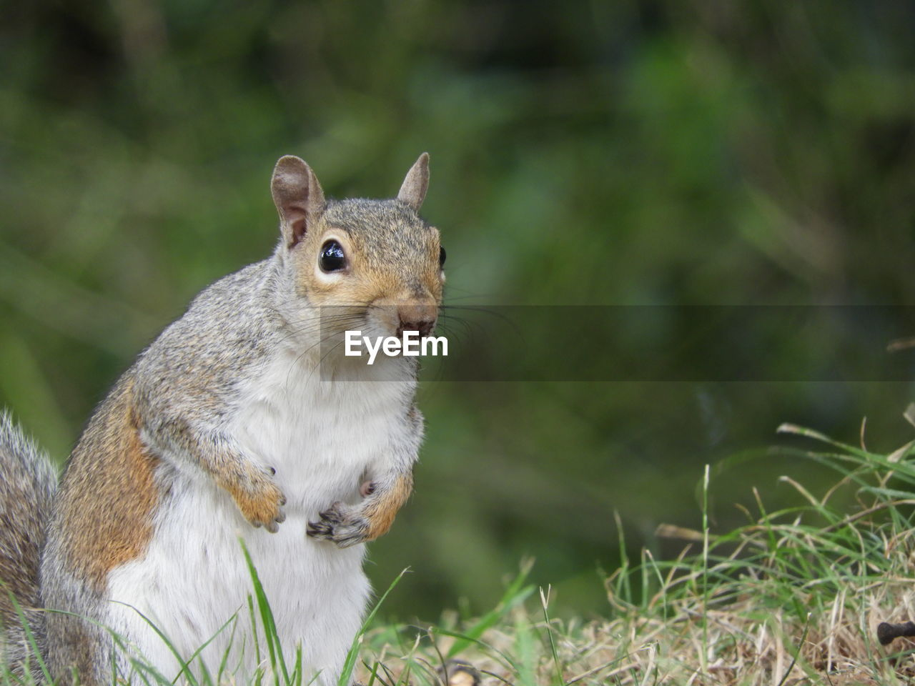 animal themes, one animal, animal, animal wildlife, mammal, rodent, animals in the wild, squirrel, focus on foreground, vertebrate, close-up, no people, land, day, nature, field, plant, outdoors, eating, looking, whisker, herbivorous