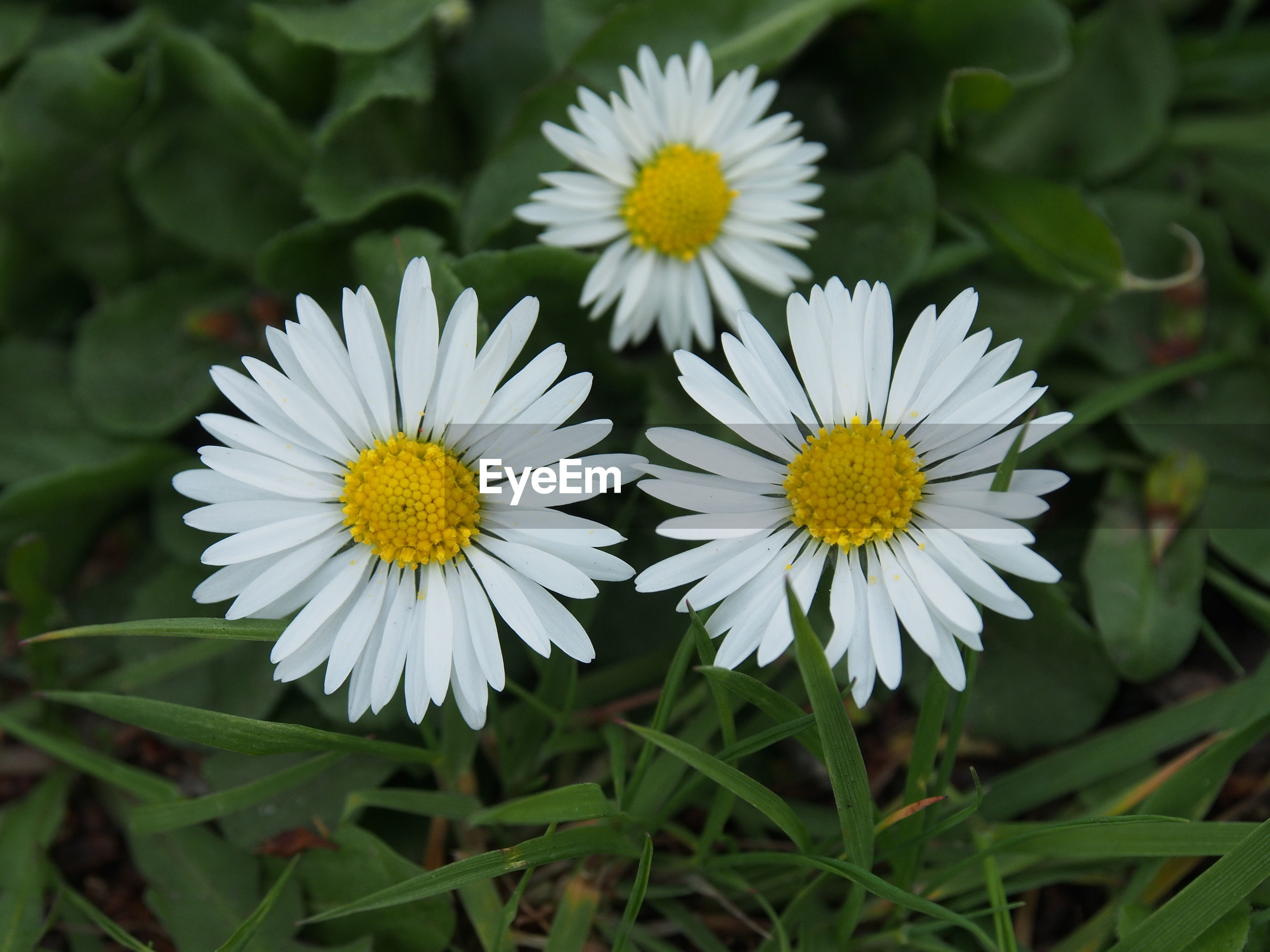CLOSE-UP OF WHITE DAISY AND YELLOW FLOWERS