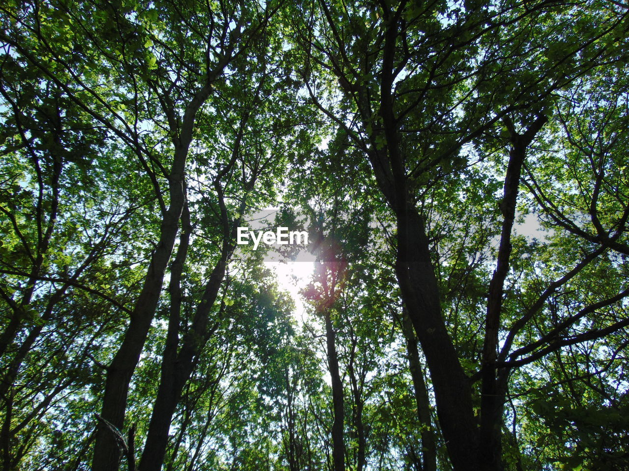 tree, plant, low angle view, forest, growth, beauty in nature, nature, sunlight, day, land, tranquility, no people, woodland, outdoors, scenics - nature, sky, green color, foliage, branch, tranquil scene, tree canopy, directly below