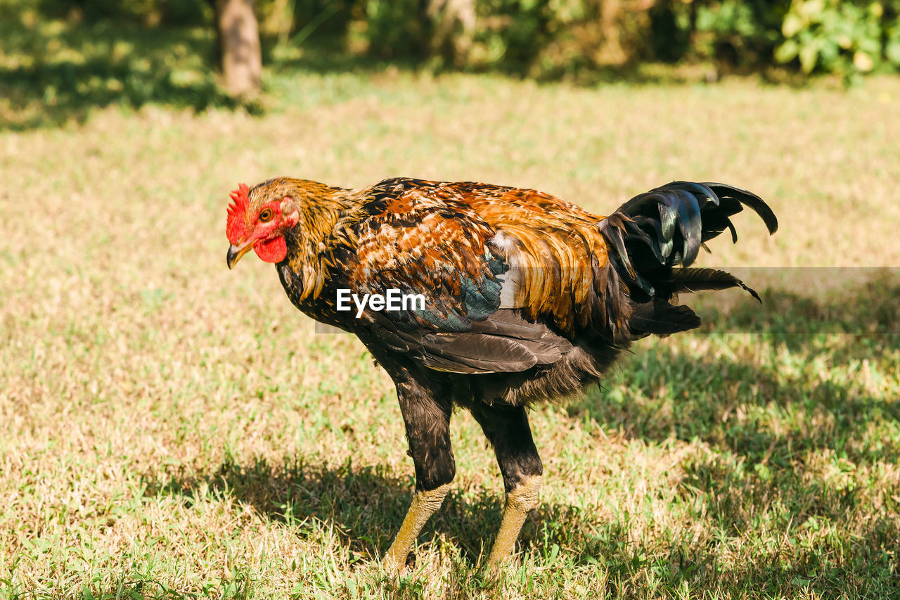 animal themes, animal, bird, domestic animals, livestock, vertebrate, one animal, chicken, mammal, domestic, field, pets, chicken - bird, land, nature, rooster, focus on foreground, male animal, day, plant, no people, outdoors