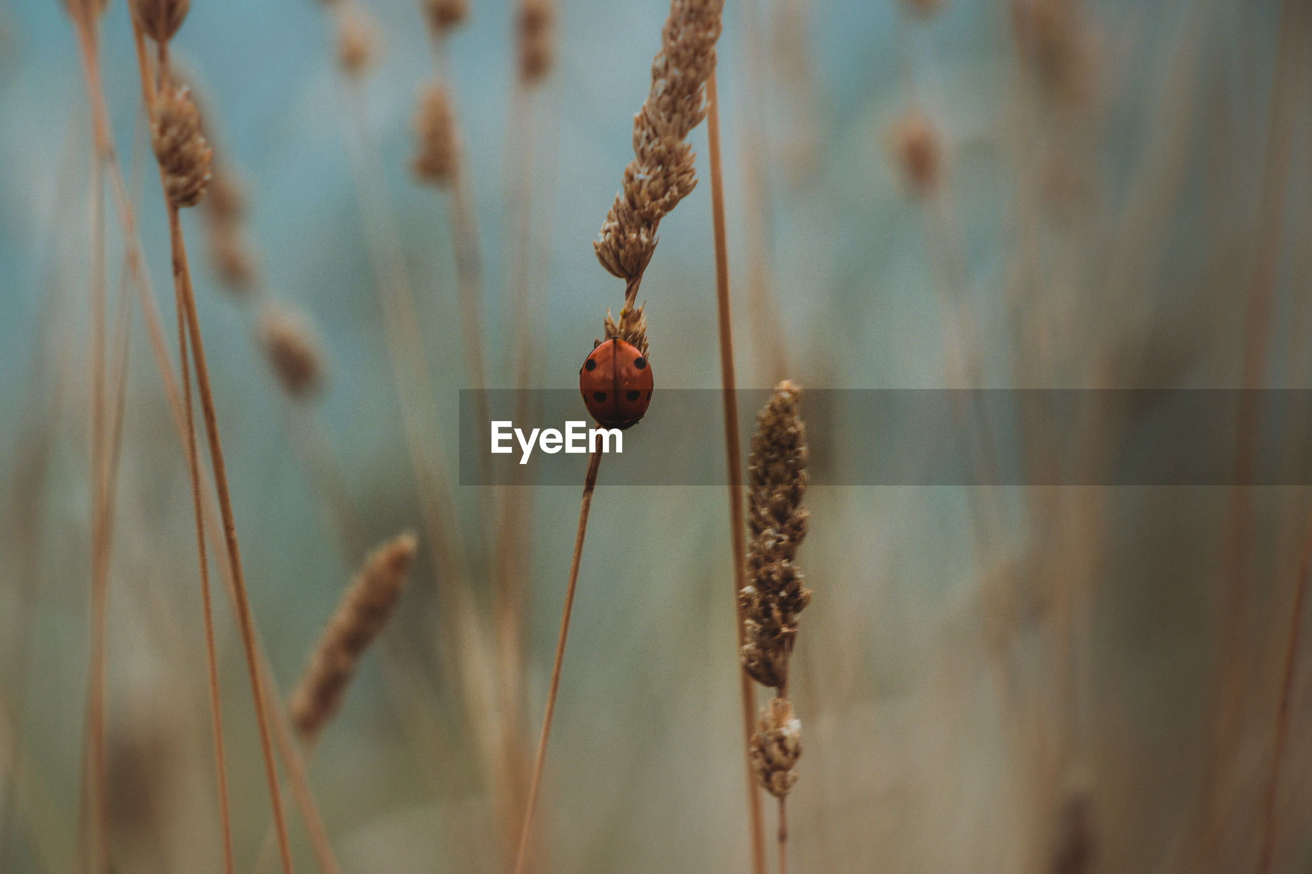 Close-up of dry flowers and a perching ladybug