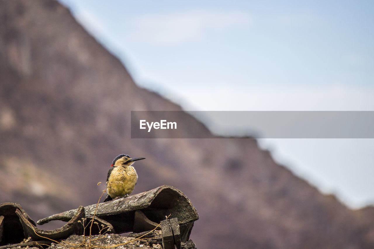 bird, animal themes, animal wildlife, animals in the wild, animal, vertebrate, one animal, perching, focus on foreground, day, nature, no people, low angle view, sky, outdoors, architecture, selective focus, built structure, solid, side view, roof tile