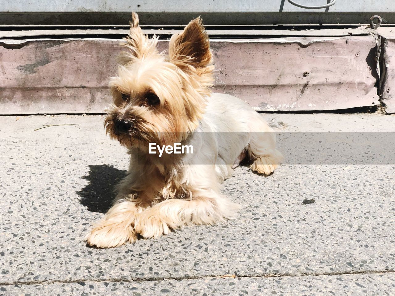 one animal, domestic, mammal, domestic animals, pets, animal themes, animal, dog, canine, vertebrate, no people, day, looking away, hair, animal hair, looking, transportation, yorkshire terrier, lap dog, full length, small