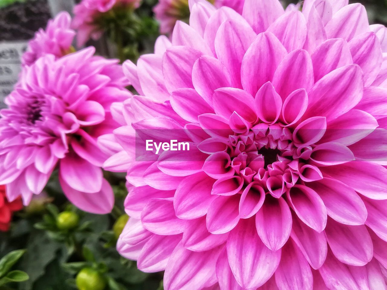 flowering plant, flower, vulnerability, fragility, freshness, pink color, plant, petal, beauty in nature, flower head, close-up, inflorescence, dahlia, growth, nature, focus on foreground, no people, day, outdoors, chrysanthemum