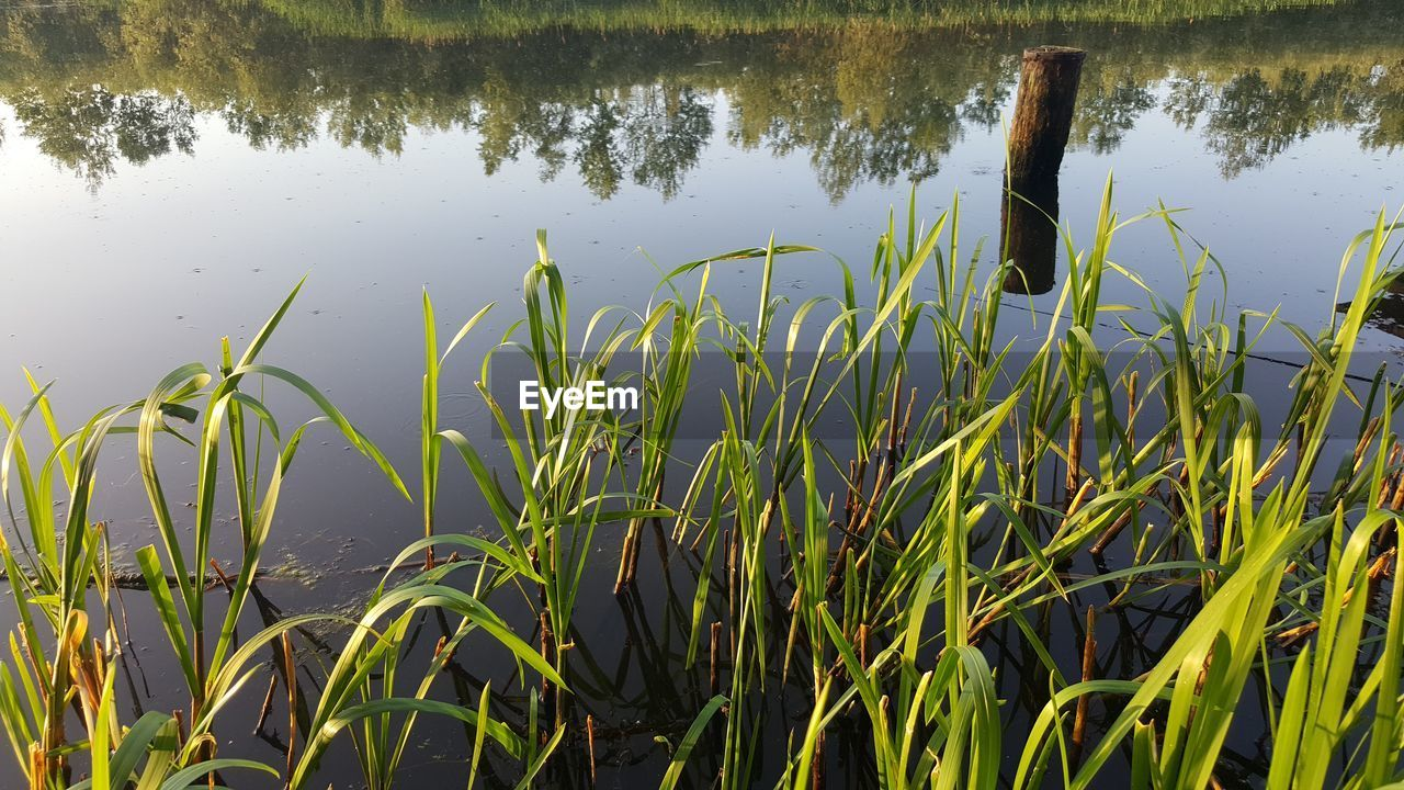 plant, water, growth, lake, beauty in nature, green color, tranquility, nature, grass, day, no people, reflection, leaf, plant part, outdoors, tranquil scene, scenics - nature, cattail, close-up, blade of grass