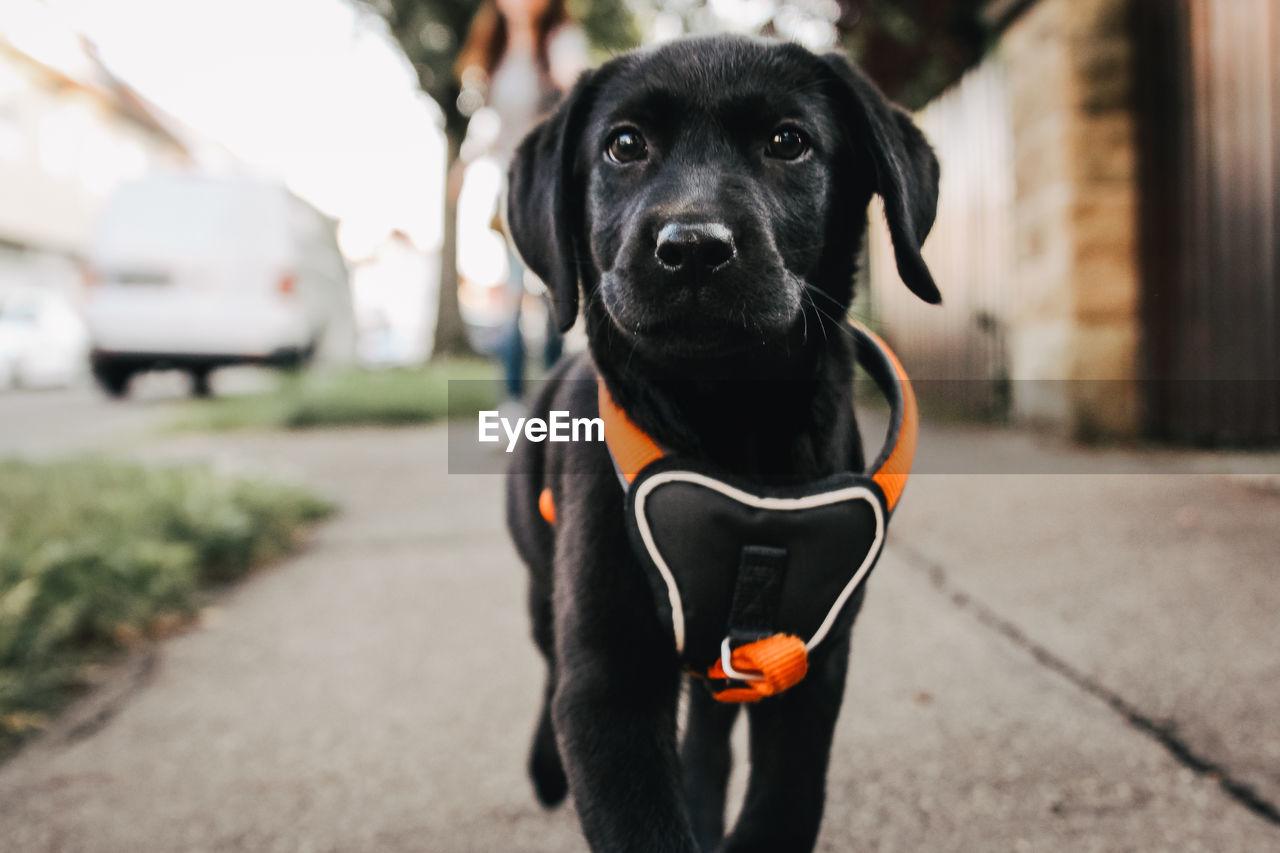 Portrait of black puppy on street