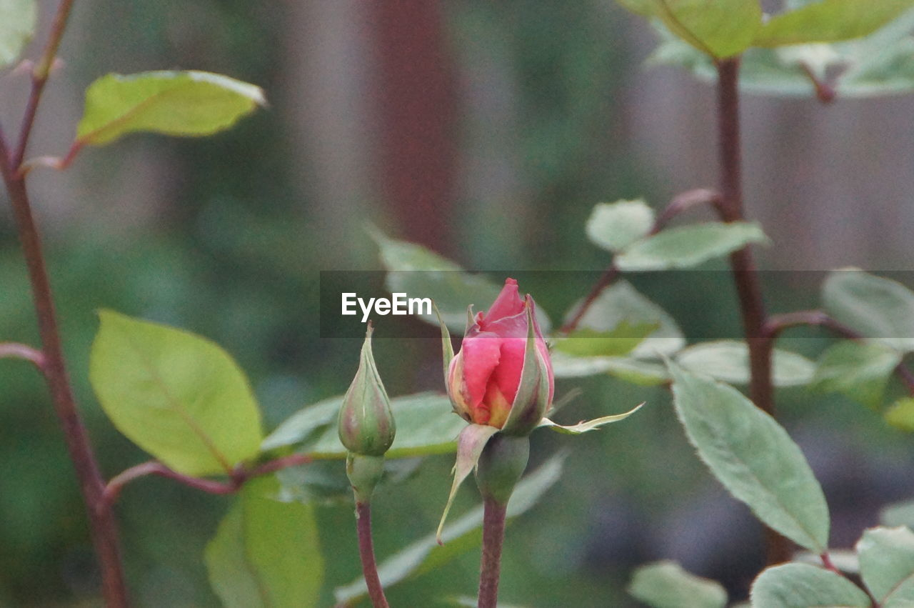 flower, growth, petal, fragility, nature, beauty in nature, plant, rose - flower, flower head, leaf, pink color, freshness, no people, close-up, new life, day, red, blooming, outdoors