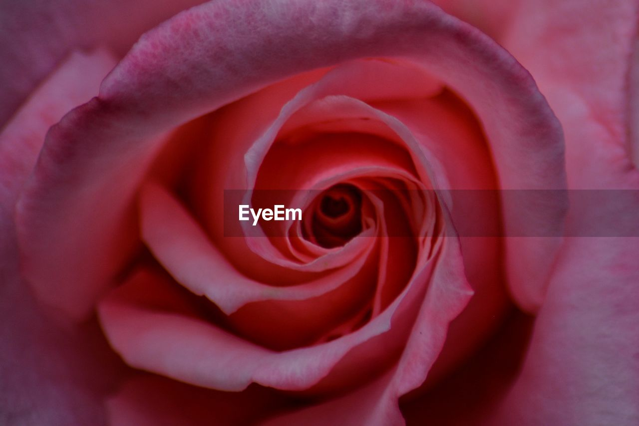 flowering plant, flower, beauty in nature, rose, close-up, vulnerability, petal, rose - flower, fragility, plant, freshness, inflorescence, flower head, nature, growth, no people, day, pink color