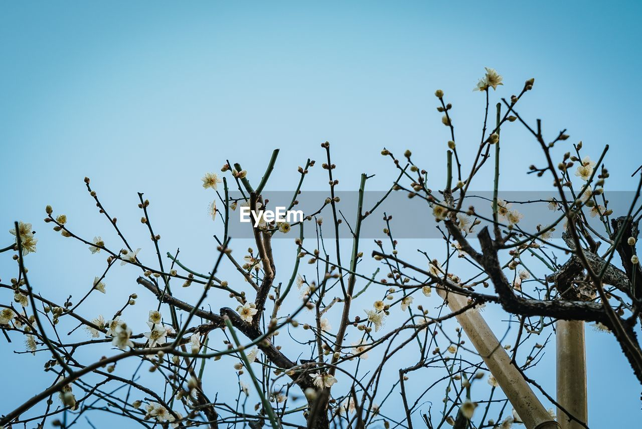 sky, plant, tree, low angle view, clear sky, branch, nature, no people, growth, beauty in nature, blue, day, bare tree, tranquility, outdoors, sunlight, flower, spring, flowering plant, animals in the wild
