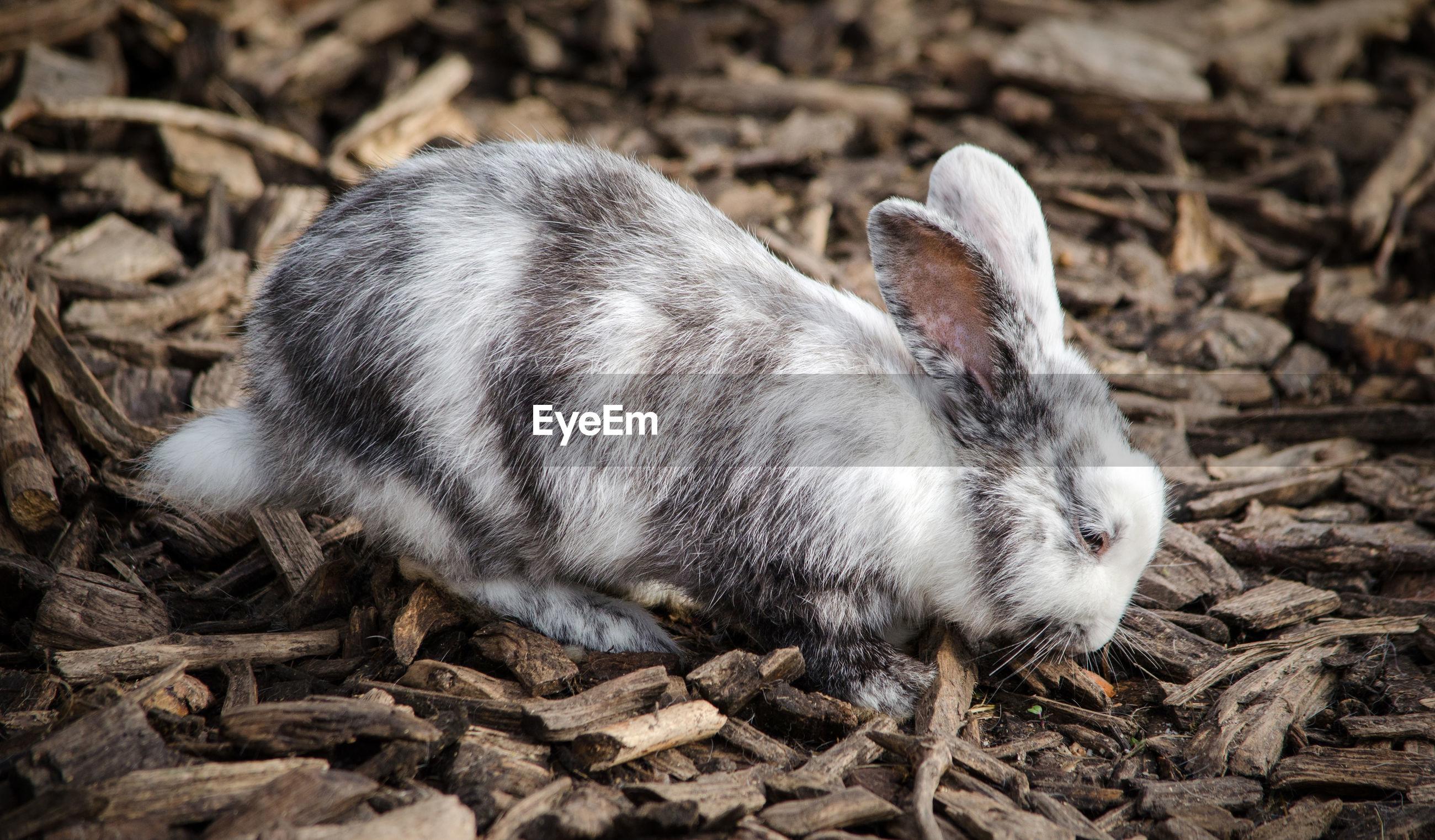 Rabbit on wood chips