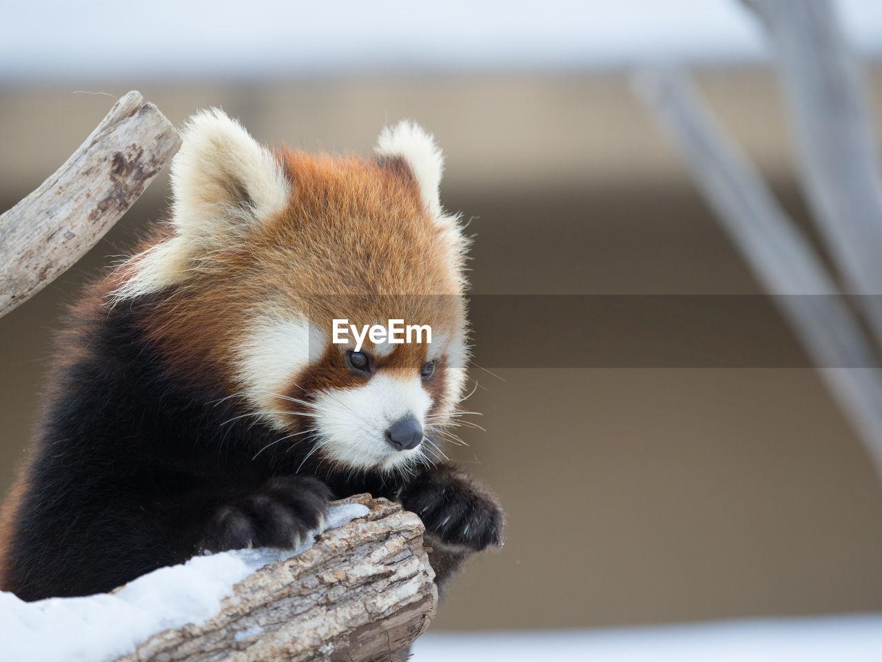 Close-Up Of Red Panda