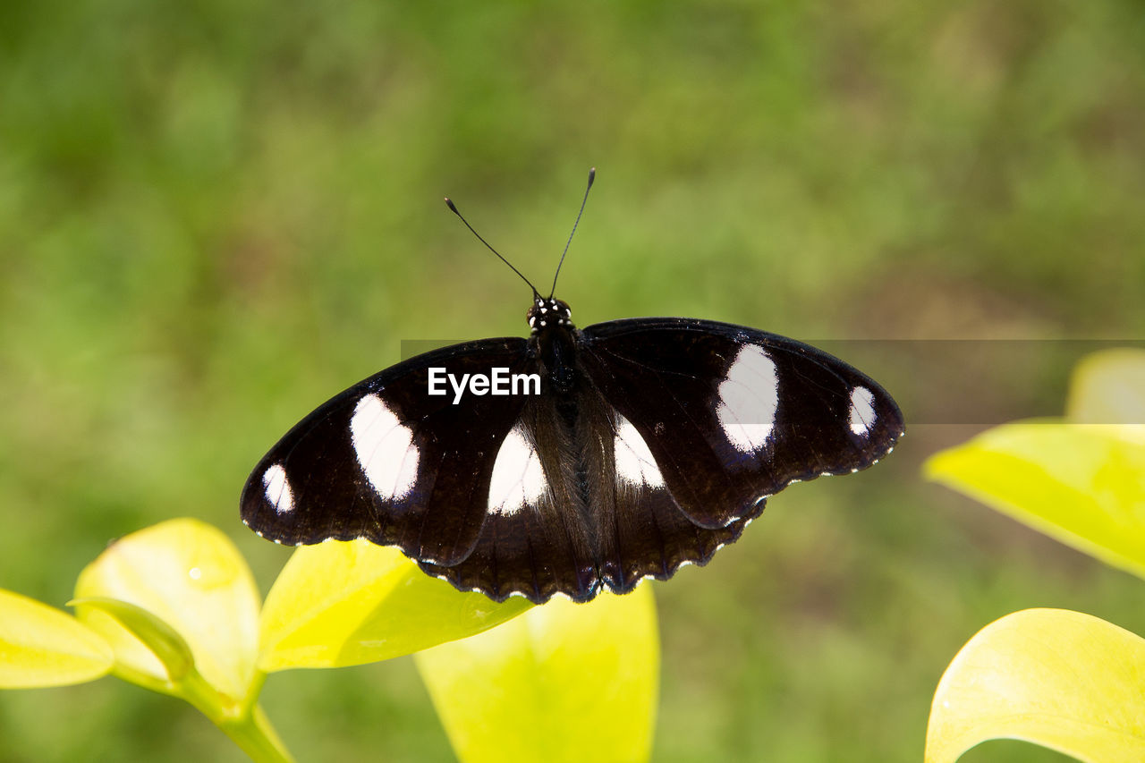 animal wildlife, animal themes, animals in the wild, one animal, animal, invertebrate, insect, focus on foreground, close-up, butterfly - insect, beauty in nature, animal wing, flower, plant, day, no people, nature, fragility, vulnerability, flowering plant, butterfly, flower head, pollination