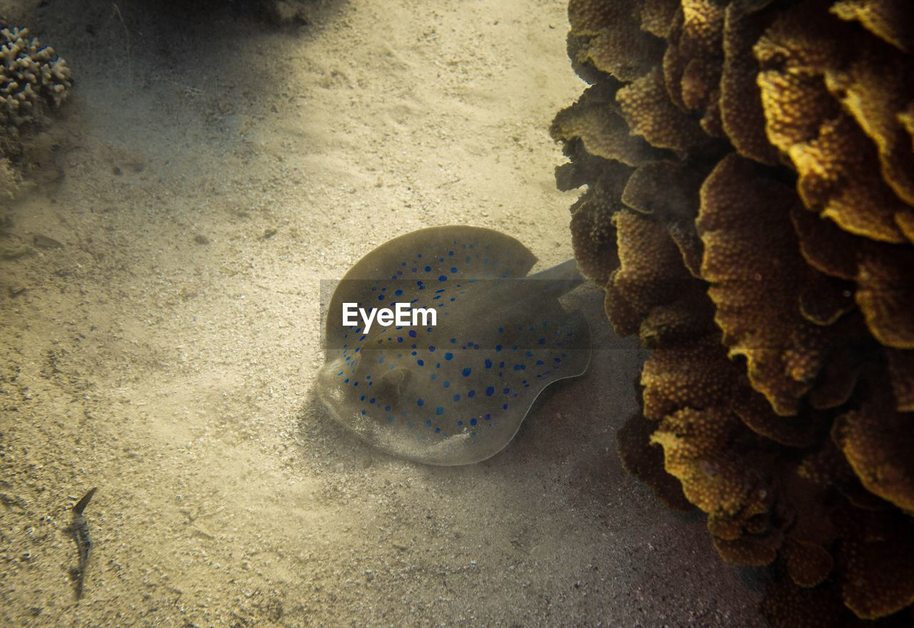 High angle view of stingray swimming undersea