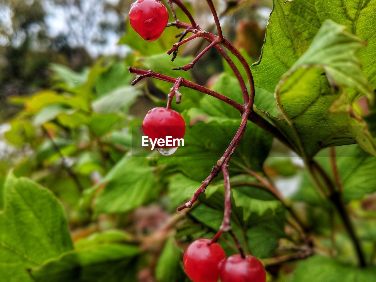 healthy eating, fruit, food and drink, food, growth, red, plant, freshness, plant part, leaf, close-up, wellbeing, tree, nature, green color, beauty in nature, focus on foreground, no people, day, branch, outdoors, ripe