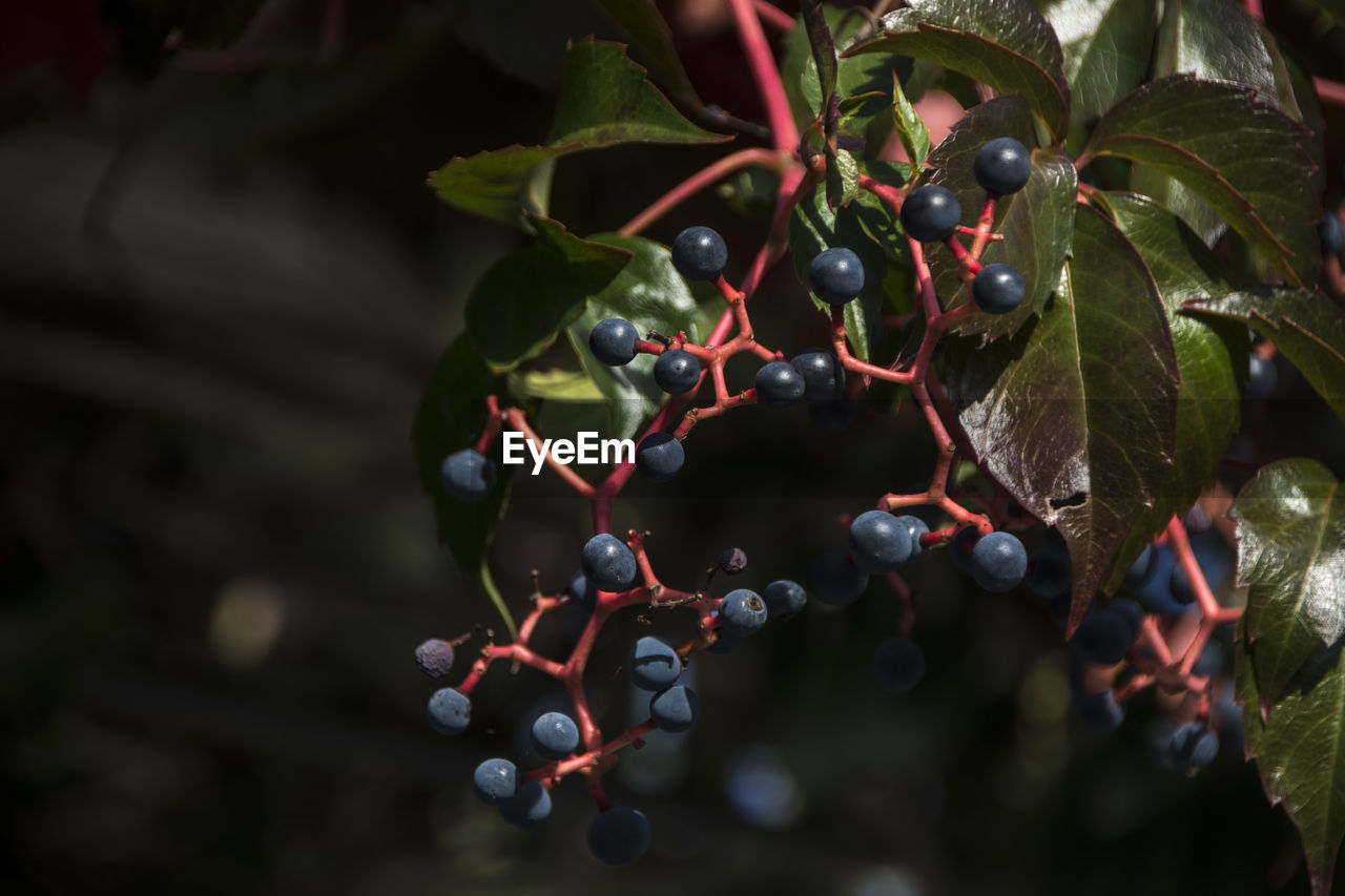 fruit, healthy eating, food and drink, food, berry fruit, growth, freshness, plant, leaf, plant part, wellbeing, close-up, day, nature, no people, red, tree, focus on foreground, selective focus, ripe, outdoors, rowanberry, red currant