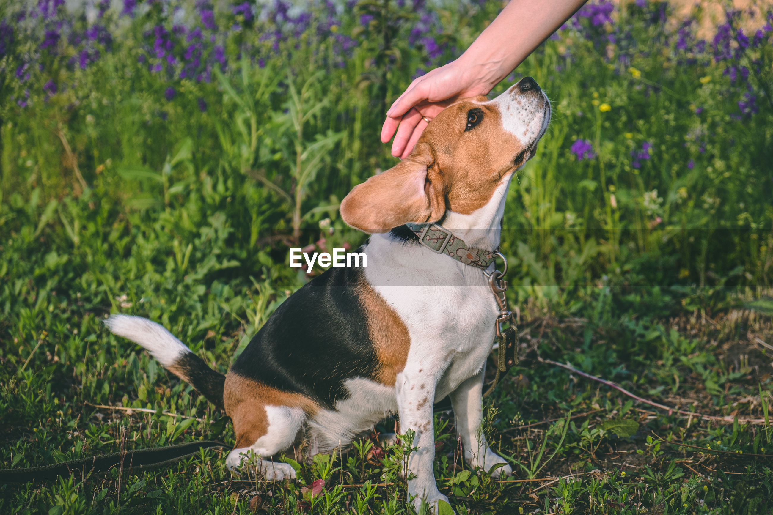 A man's hand stroking a dog of the beagle breed. the dog trusts the person. world dog day person