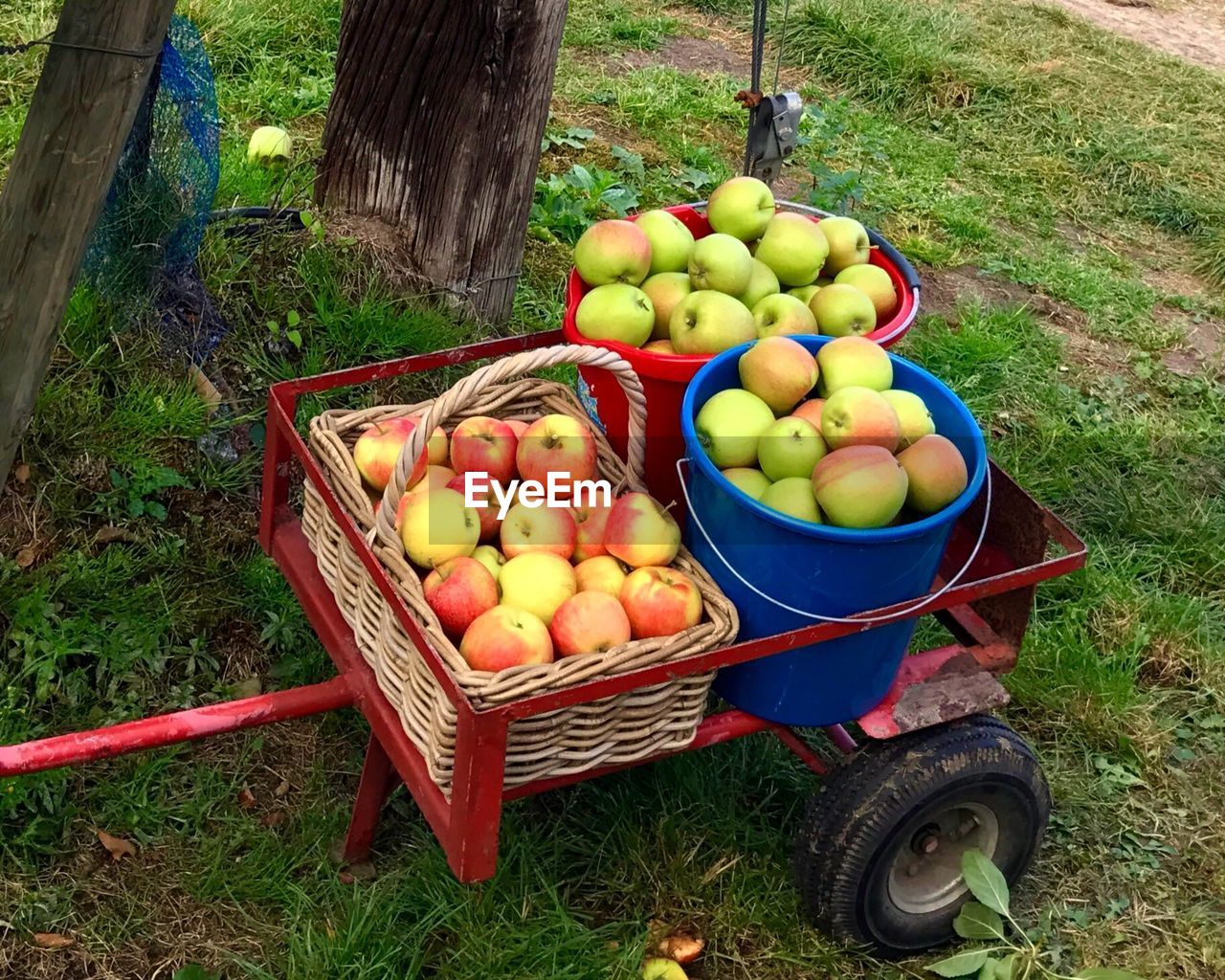 food and drink, healthy eating, food, fruit, apple - fruit, day, freshness, wellbeing, grass, container, high angle view, plant, large group of objects, nature, no people, land, apple, abundance, outdoors, field, ripe