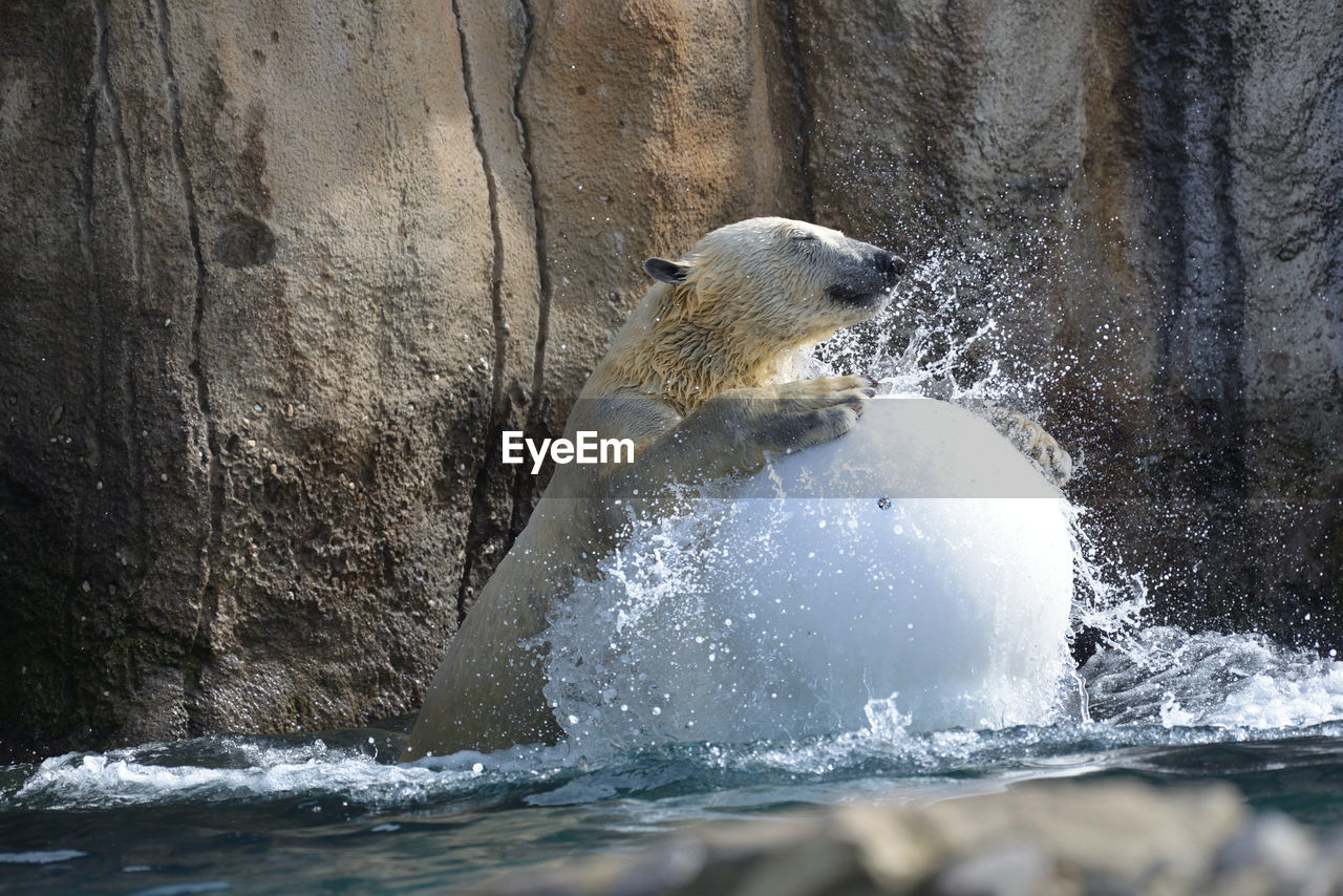 one animal, water, animal themes, rock - object, day, outdoors, mammal, animals in the wild, nature, no people