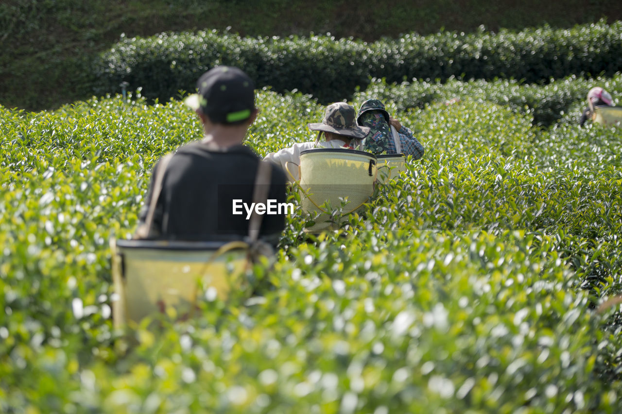 Rear view of farmers picking tea leaves at plantation on sunny day