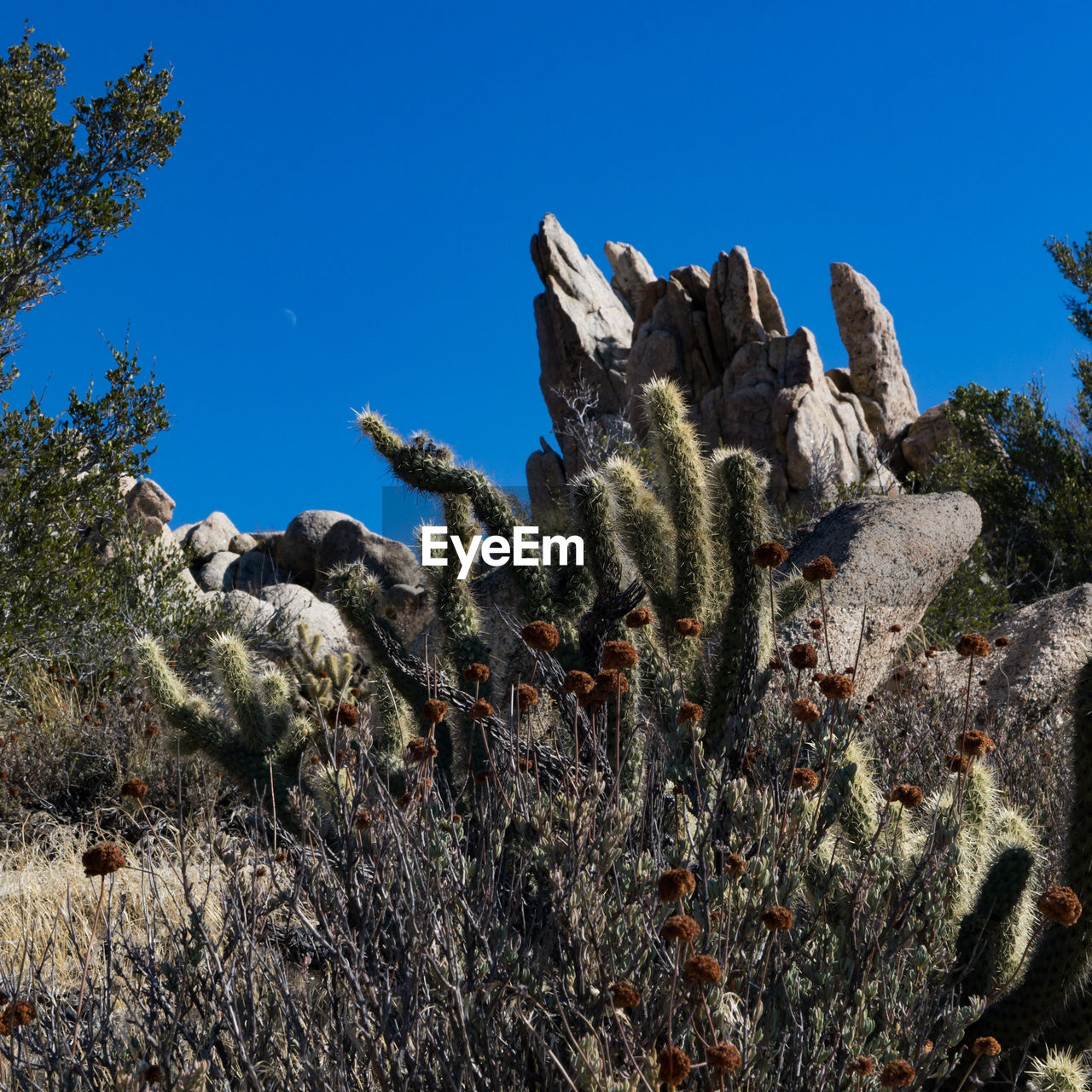 nature, cactus, no people, plant, rock - object, saguaro cactus, outdoors, day, growth, tranquility, beauty in nature, sunlight, blue, clear sky, scenics, sky, prickly pear cactus