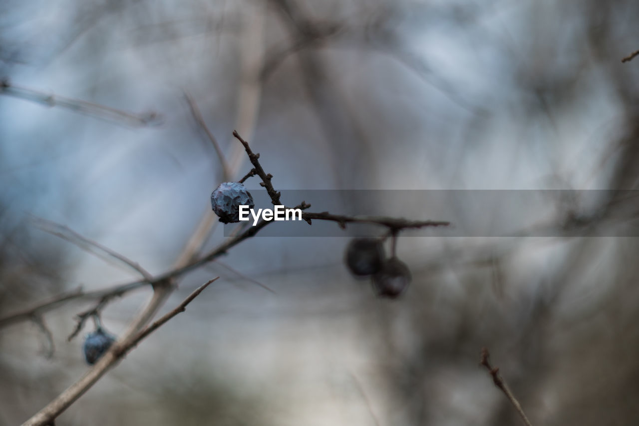 plant, close-up, nature, focus on foreground, no people, tree, twig, selective focus, branch, day, dead plant, dry, outdoors, fruit, dried plant, plant stem, growth, beauty in nature, food and drink, bare tree, dried