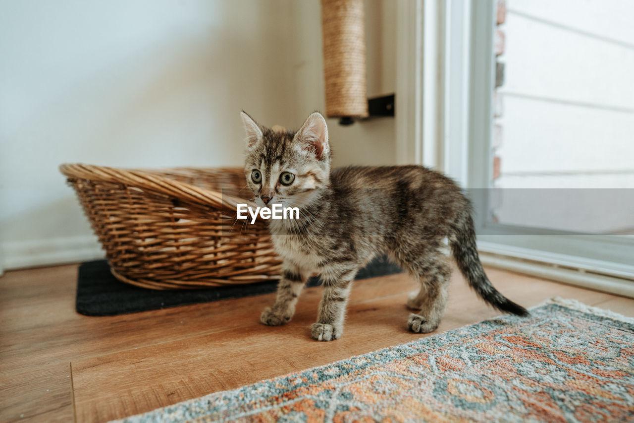 Kitten standing on hardwood floor at home