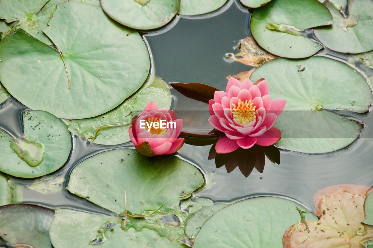 flower, flowering plant, plant, water lily, beauty in nature, leaf, pond, freshness, plant part, water, vulnerability, petal, fragility, pink color, nature, growth, floating, green color, floating on water, lotus water lily, flower head, no people, leaves