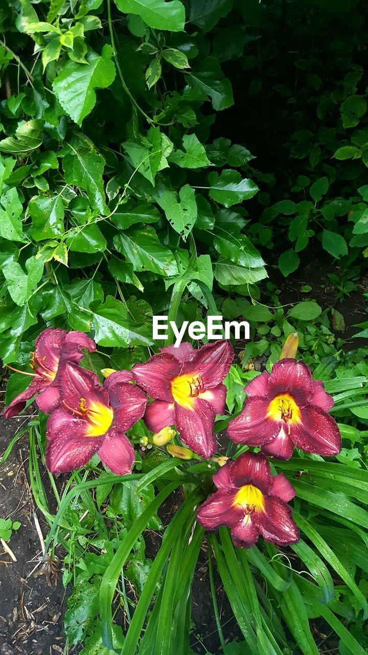 flower, growth, petal, freshness, green color, nature, beauty in nature, fragility, plant, flower head, outdoors, day, no people, blooming, leaf, close-up, day lily