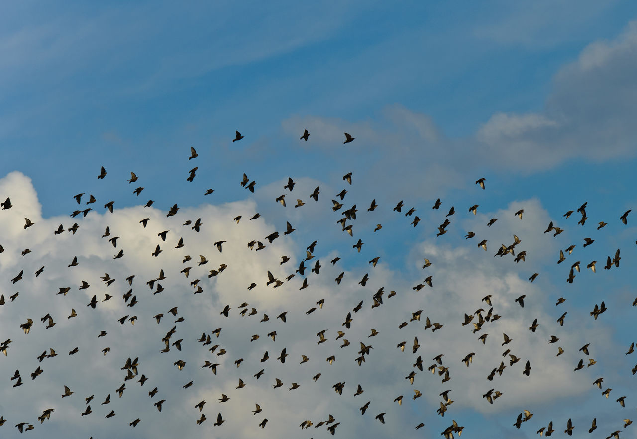 animal themes, animal wildlife, group of animals, animal, animals in the wild, large group of animals, low angle view, bird, flying, sky, flock of birds, vertebrate, cloud - sky, nature, beauty in nature, no people, mid-air, blue, animal migration, silhouette, outdoors