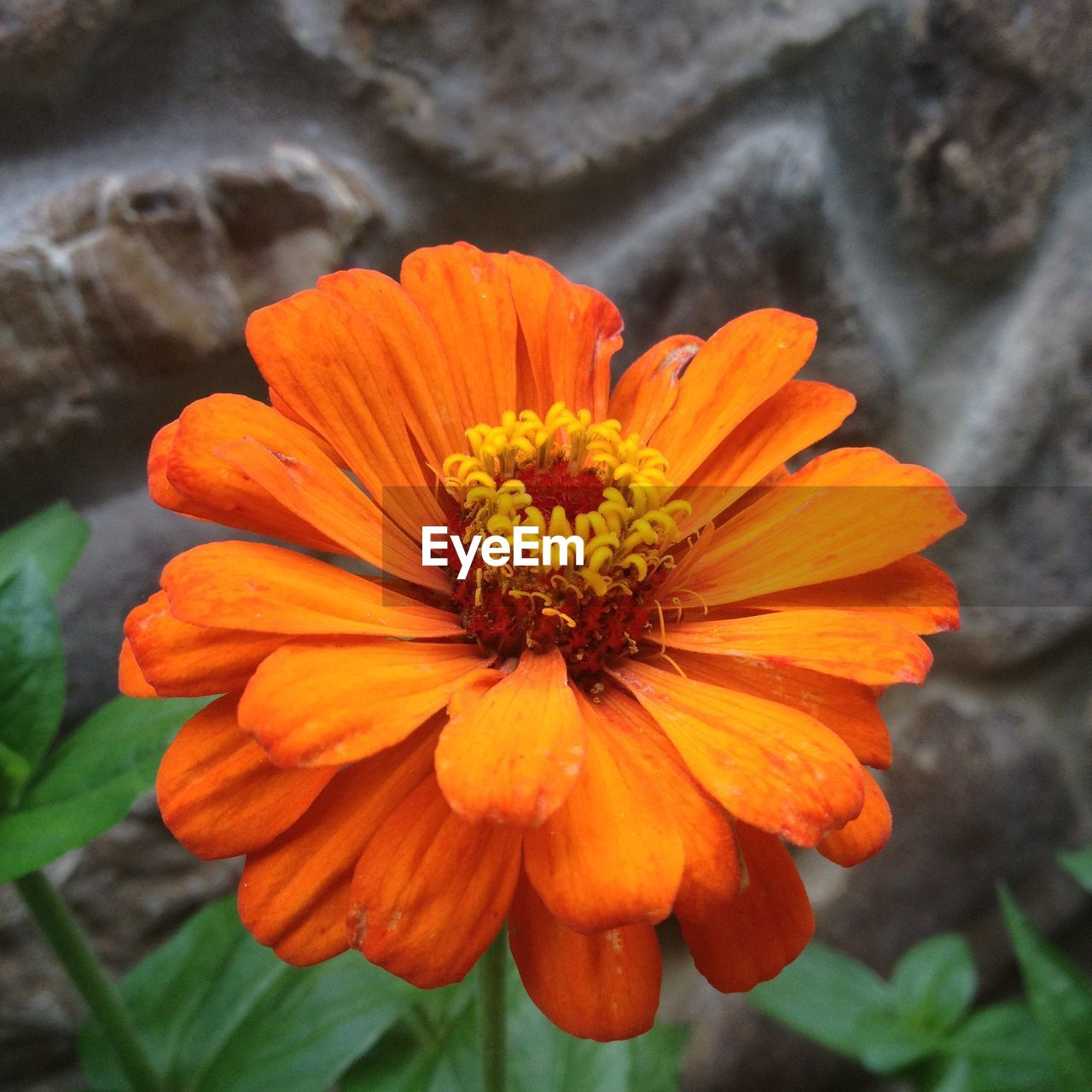flower, petal, flower head, nature, beauty in nature, fragility, growth, freshness, pollen, plant, blooming, orange color, outdoors, day, focus on foreground, no people, close-up, yellow, zinnia