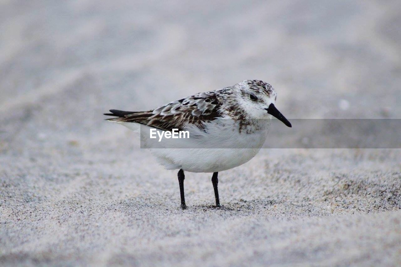 animal, animal themes, bird, one animal, vertebrate, animal wildlife, animals in the wild, selective focus, no people, day, land, full length, close-up, nature, side view, outdoors, beach, zoology, field, sand