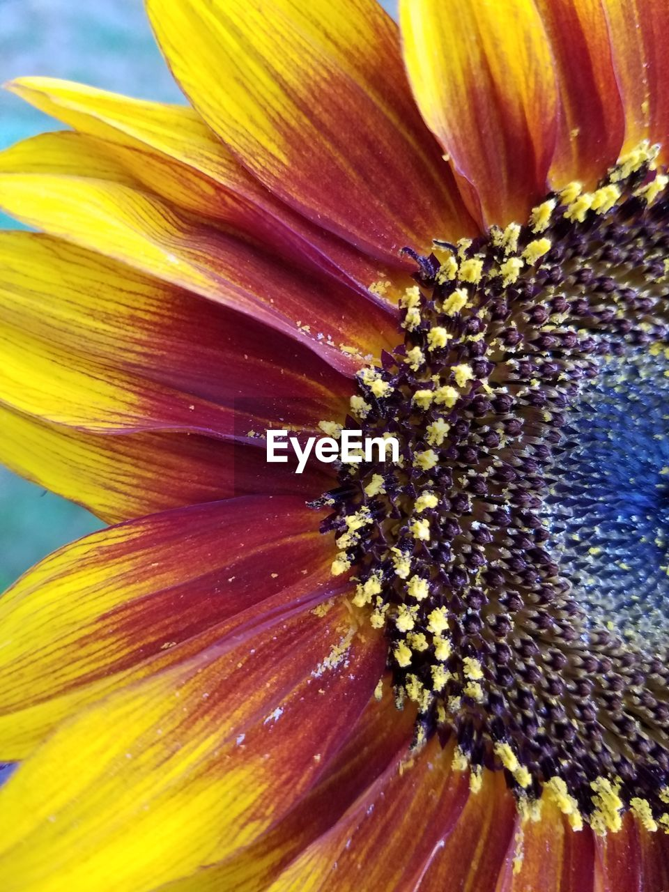 freshness, flower, flowering plant, flower head, close-up, beauty in nature, inflorescence, pollen, vulnerability, petal, fragility, plant, growth, no people, yellow, nature, stamen, full frame, natural pattern, sunflower, softness
