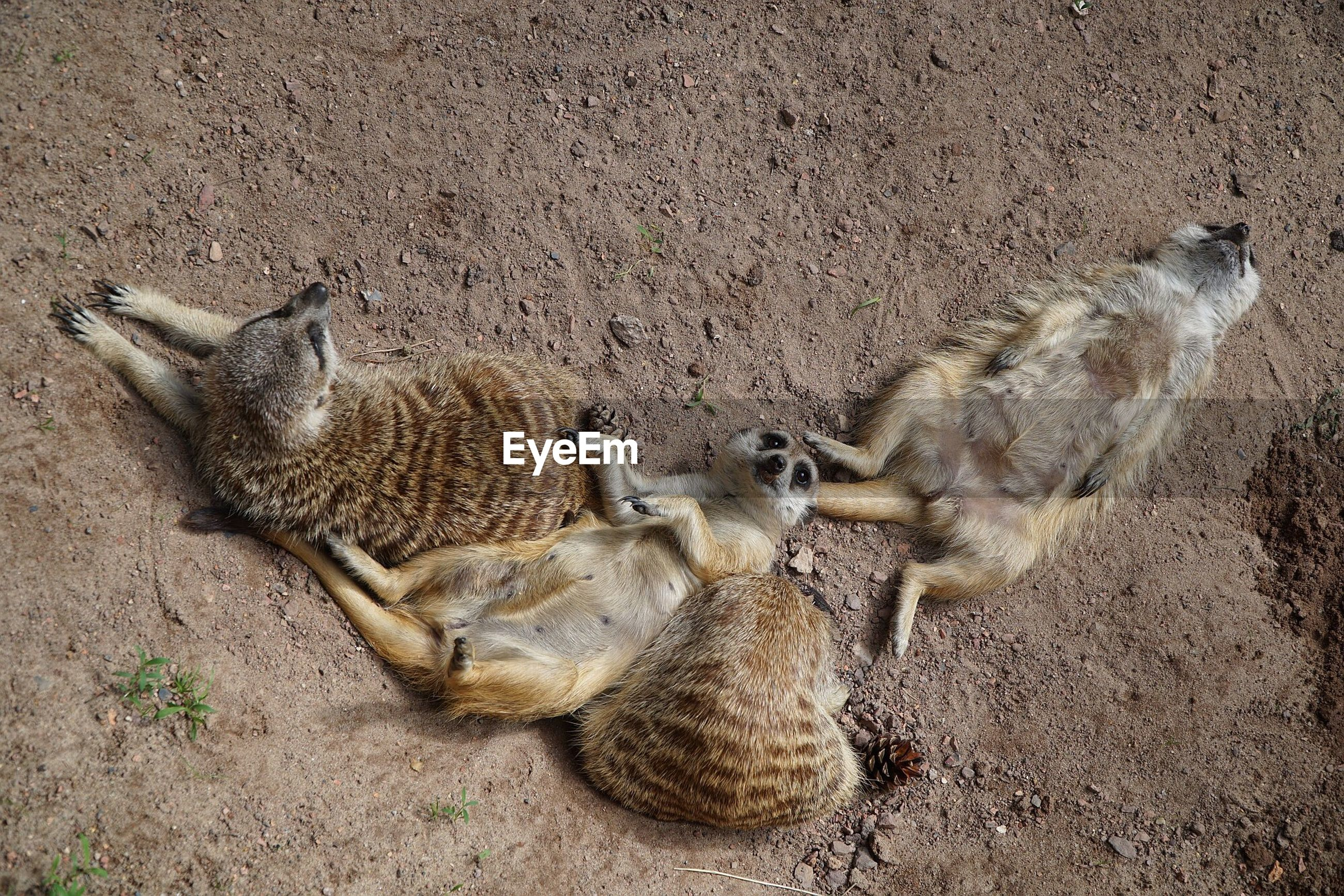High angle view of meerkats resting on field