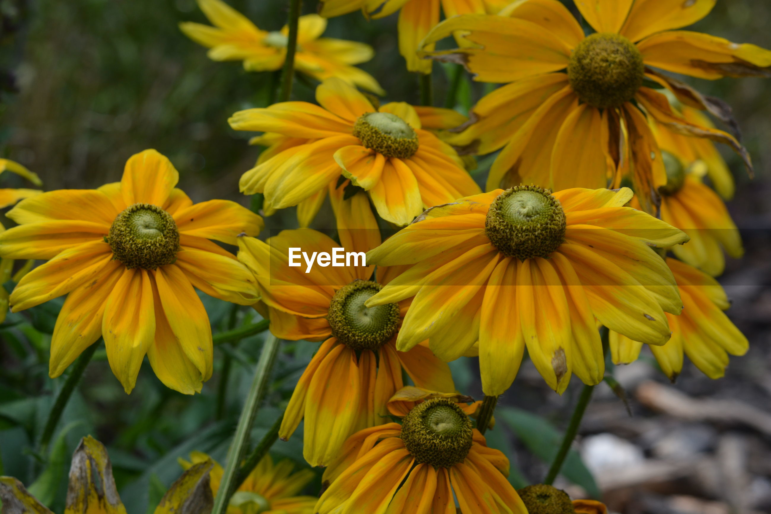 CLOSE-UP OF YELLOW BLACK-EYED