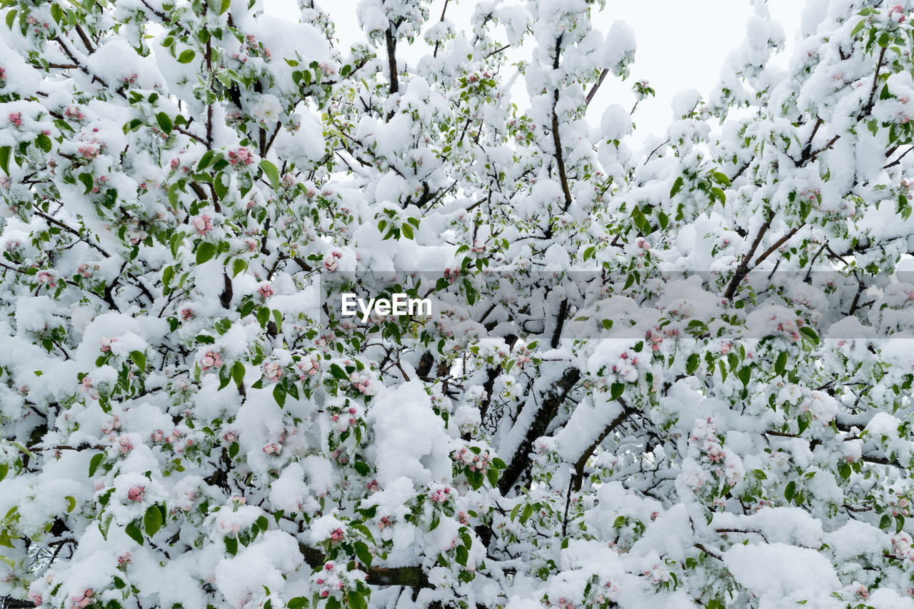 white color, beauty in nature, plant, flower, flowering plant, growth, snow, freshness, no people, day, cold temperature, tree, fragility, vulnerability, nature, winter, full frame, springtime, outdoors