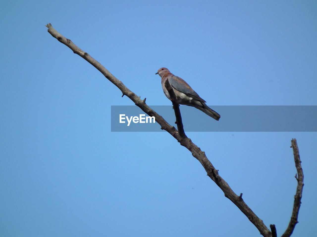 bird, animals in the wild, animal, animal themes, vertebrate, animal wildlife, low angle view, perching, one animal, clear sky, branch, sky, tree, blue, plant, copy space, day, no people, nature, outdoors