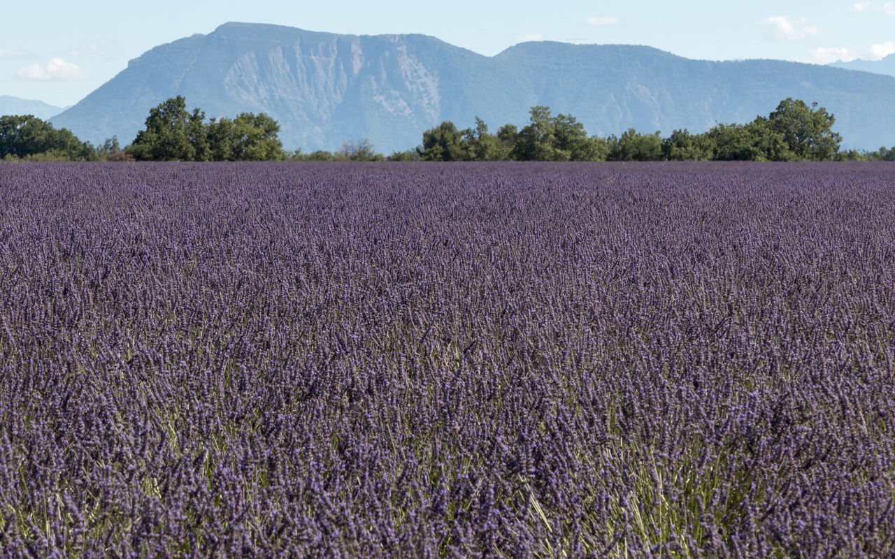 beauty in nature, agriculture, field, nature, tranquility, tranquil scene, purple, growth, landscape, lavender, scenics, rural scene, flower, day, no people, mountain, plant, outdoors, tree, freshness, sky