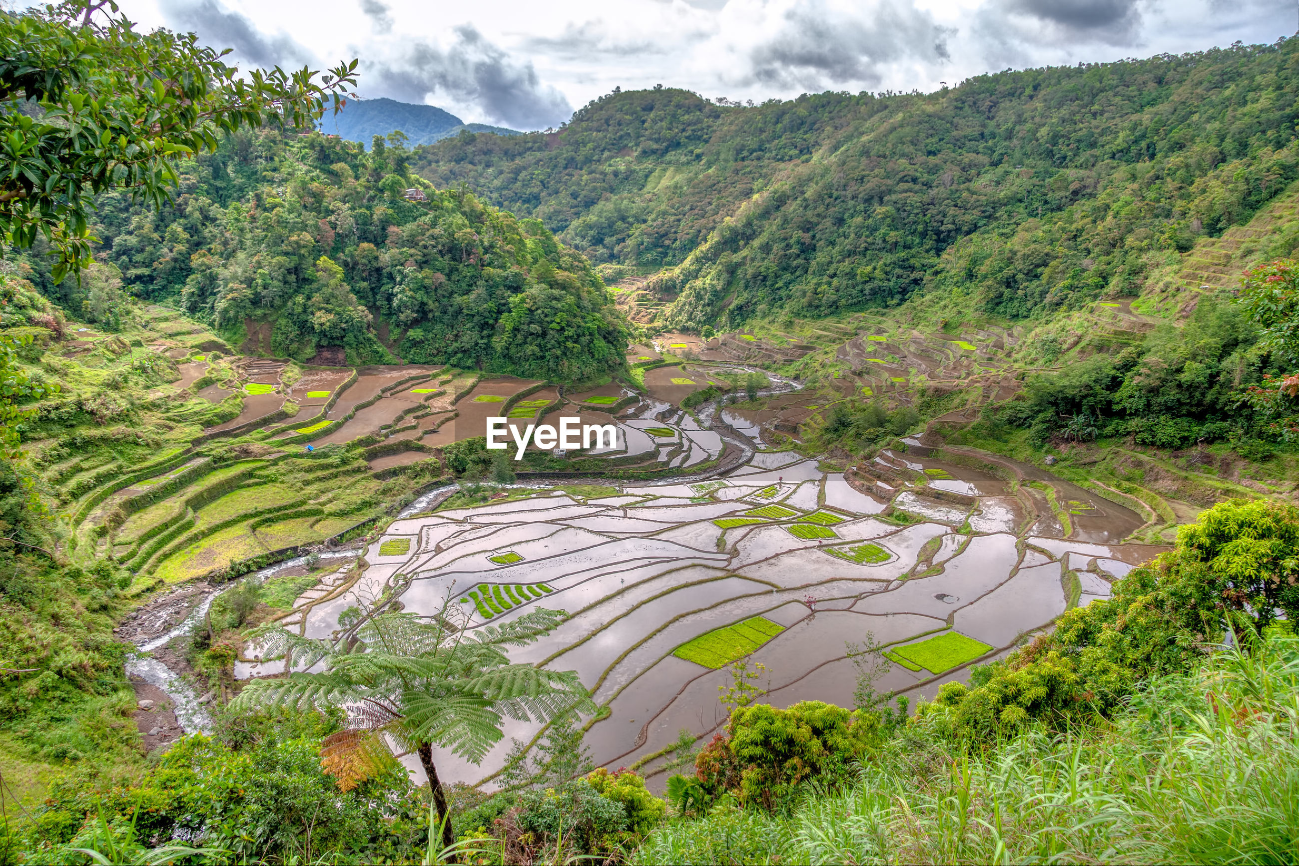 SCENIC VIEW OF RICE FIELD AGAINST TREES AND MOUNTAINS