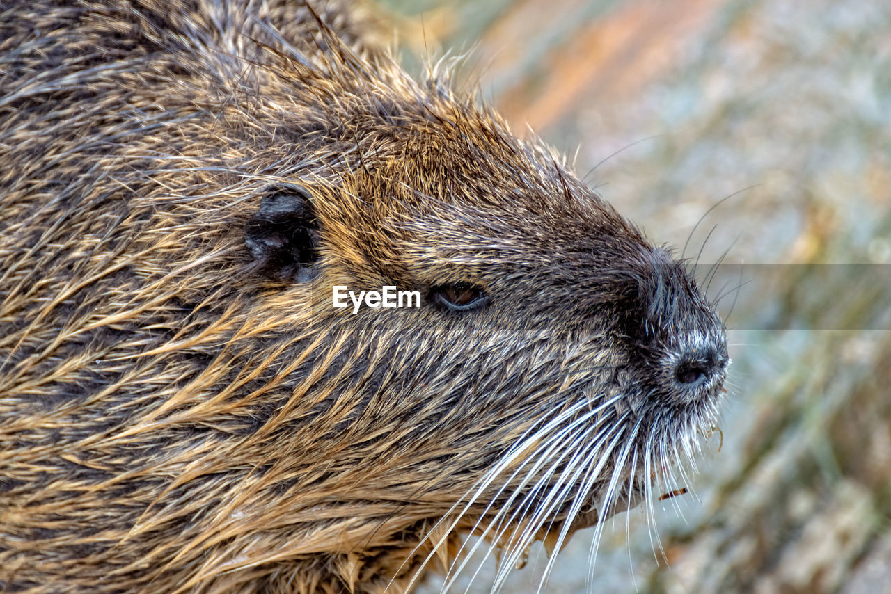 one animal, animal themes, mammal, animal, animal wildlife, animals in the wild, close-up, no people, rodent, focus on foreground, vertebrate, day, animal body part, nature, animal head, outdoors, brown, whisker, looking, portrait, animal eye, animal nose