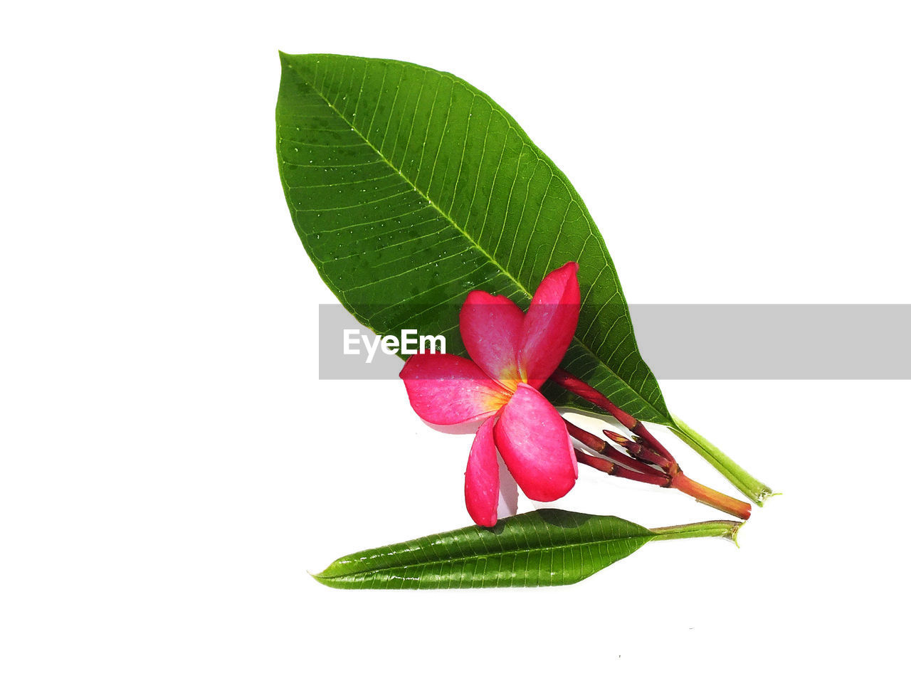 leaf, plant part, studio shot, white background, plant, close-up, freshness, beauty in nature, green color, flower, flowering plant, cut out, nature, copy space, vulnerability, petal, pink color, no people, fragility, flower head, leaves