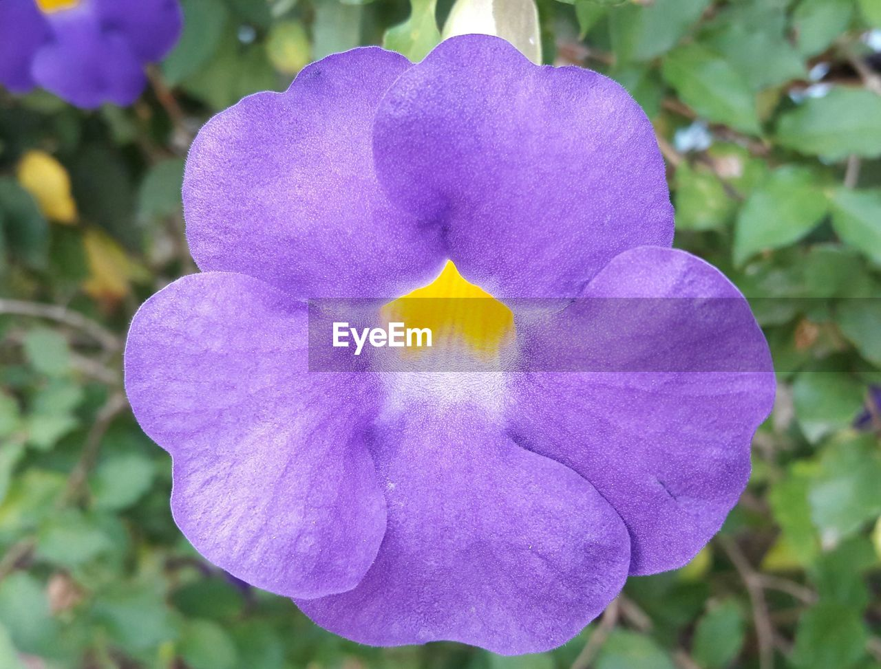 flower, petal, beauty in nature, nature, purple, fragility, plant, focus on foreground, no people, day, growth, close-up, outdoors, flower head, blooming, freshness, petunia