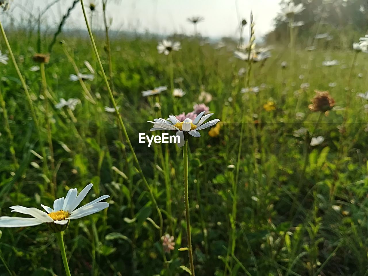 plant, flowering plant, flower, growth, beauty in nature, vulnerability, fragility, freshness, petal, flower head, focus on foreground, green color, nature, inflorescence, land, field, white color, close-up, day, no people, pollen, outdoors