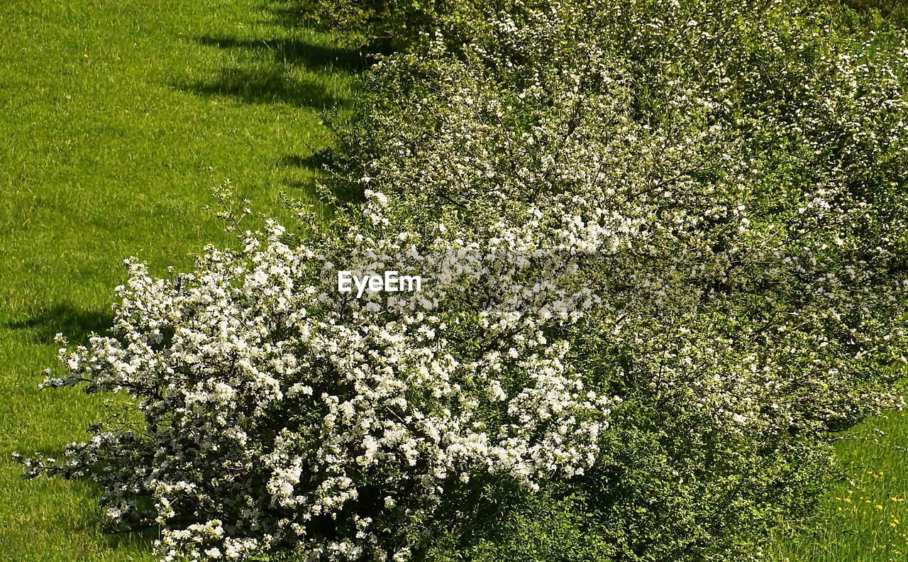plant, growth, flowering plant, flower, beauty in nature, freshness, green color, land, field, day, fragility, nature, vulnerability, no people, springtime, tree, tranquility, blossom, grass, white color, outdoors, spring