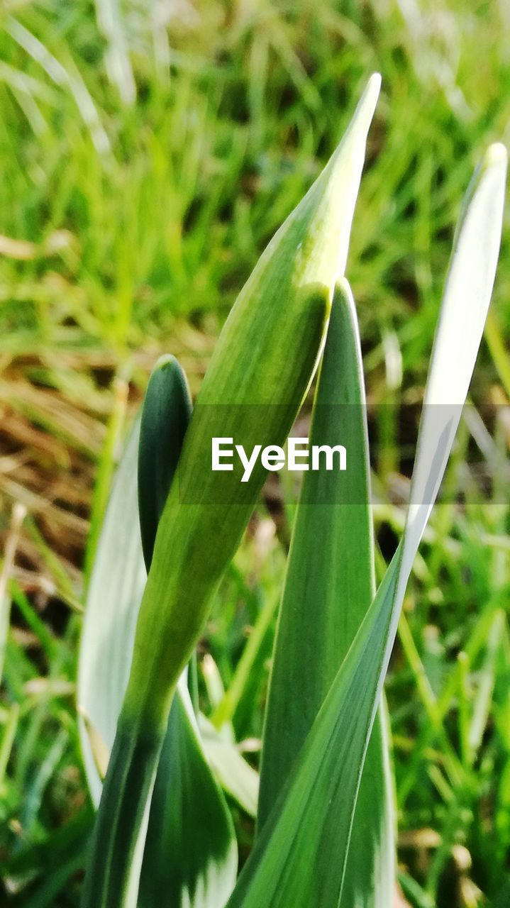 growth, green color, plant, nature, no people, close-up, outdoors, focus on foreground, grass, day, field, beauty in nature, freshness