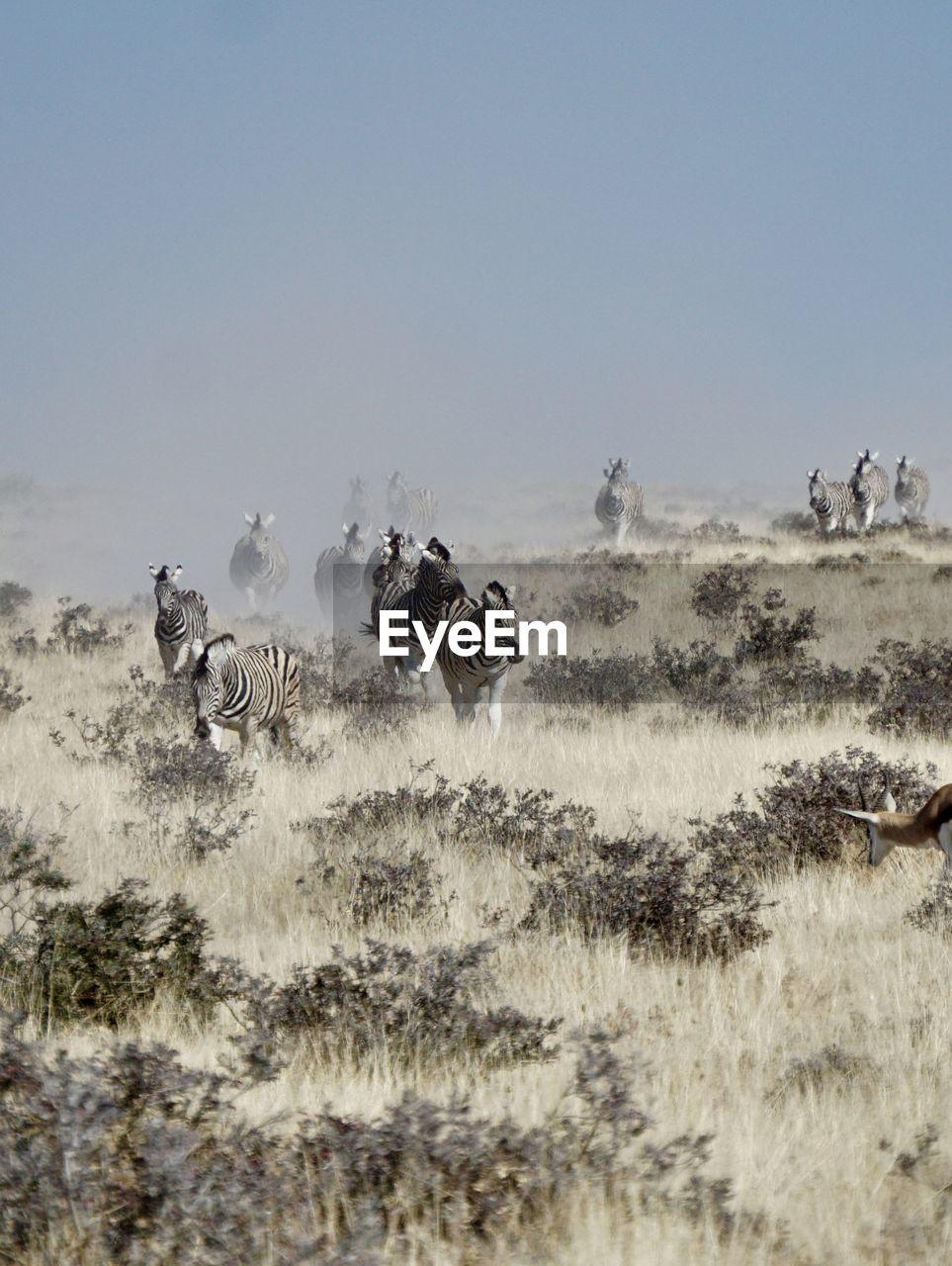 Zebras walking field against sky