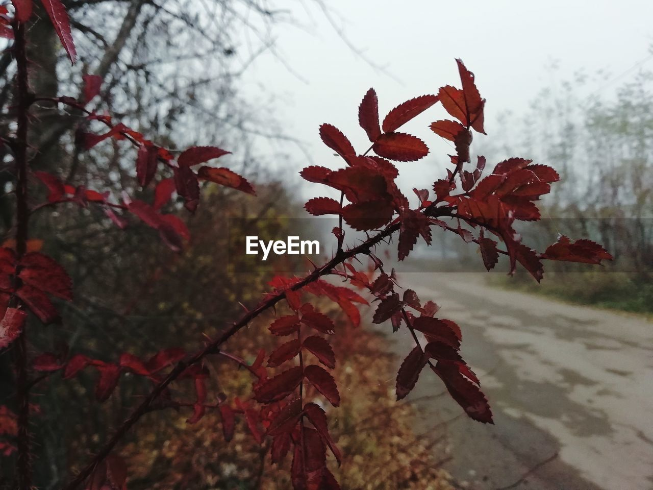 plant, growth, beauty in nature, focus on foreground, close-up, tree, nature, no people, change, plant part, leaf, autumn, day, tranquility, branch, red, outdoors, selective focus, vulnerability, fragility, leaves, maple leaf