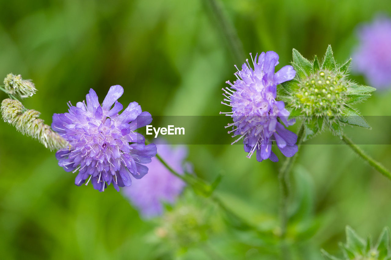 flowering plant, flower, plant, vulnerability, beauty in nature, fragility, freshness, growth, purple, petal, close-up, flower head, inflorescence, nature, day, no people, focus on foreground, selective focus, botany, outdoors