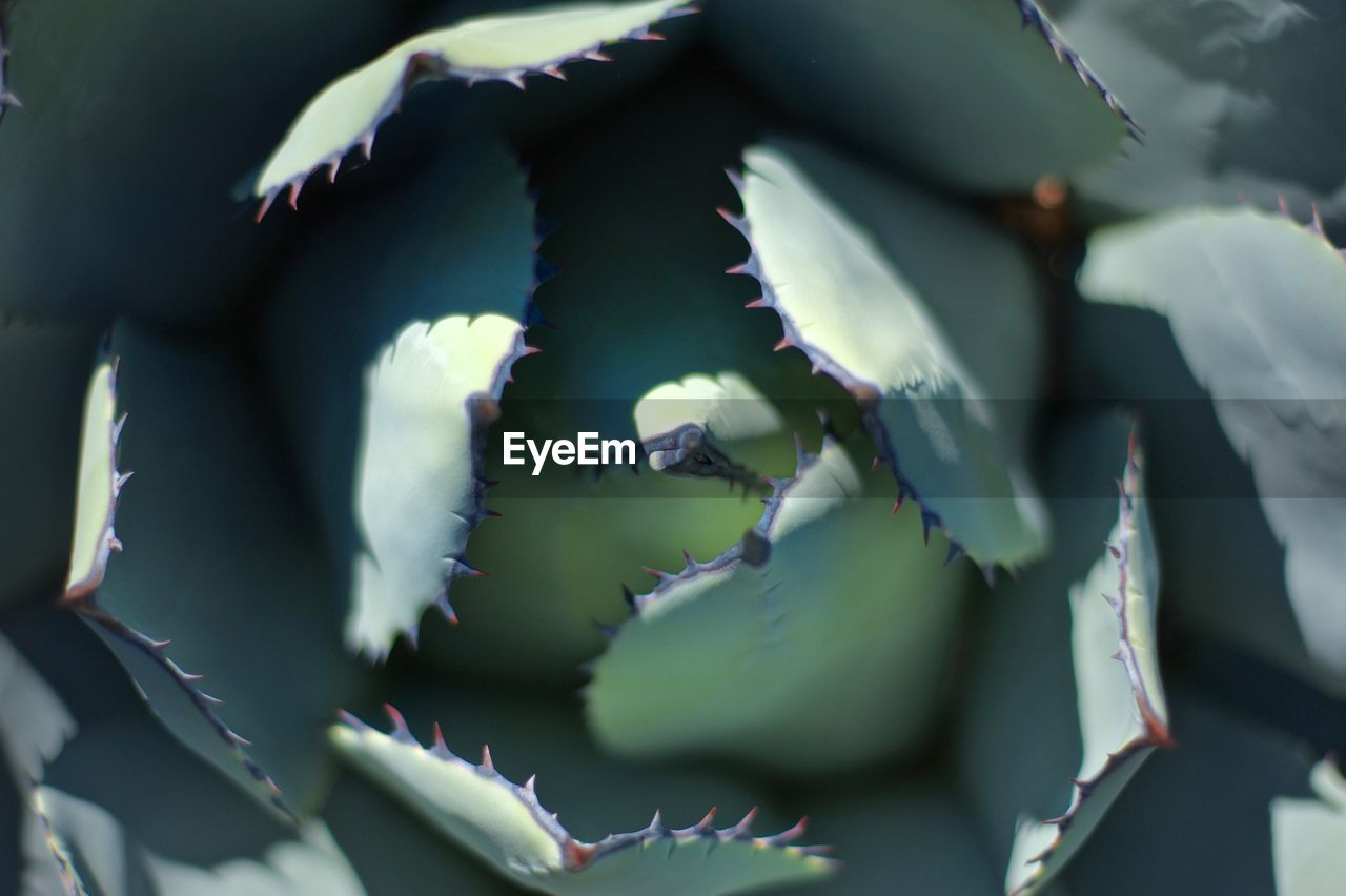 Close-up of agave growing outdoors