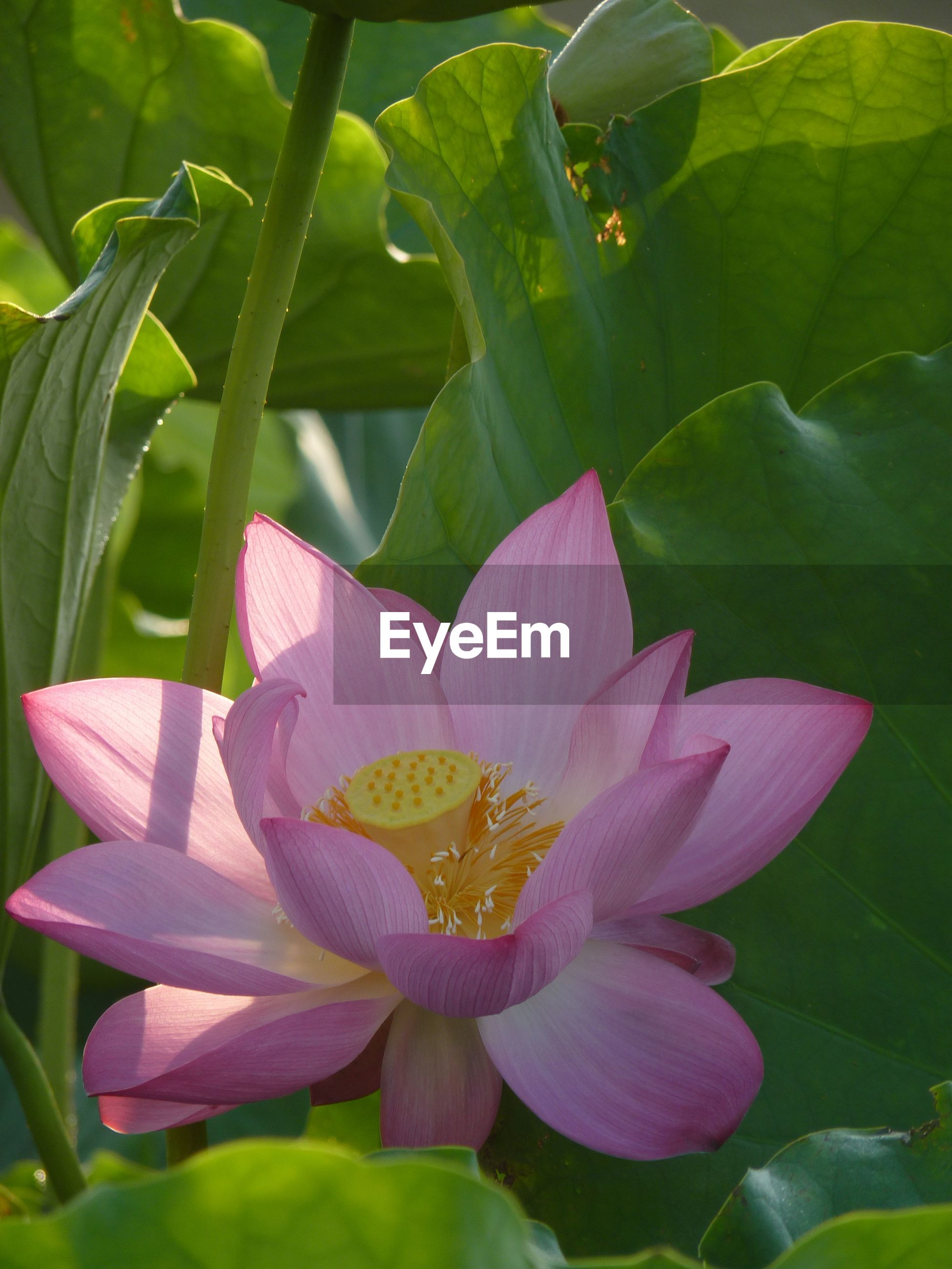 CLOSE-UP OF PINK LOTUS WATER LILY IN PLANT
